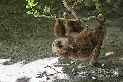 Studio Grafika Zodiac Rights Managed Images - Sloth in tree Royalty-Free Image by Patricia Hofmeester