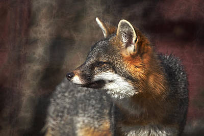 Photograph - Sly As A Fox by Karol Livote