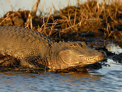 Photograph - Small Alligator Sunning by Charles McKelroy
