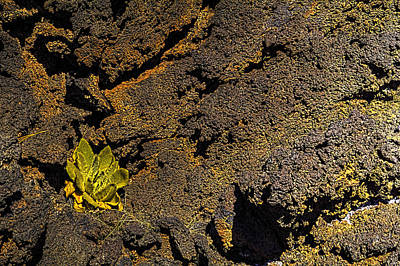 Photograph - Small Aloe In Lava Flow by Roger Passman