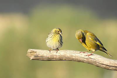 Siskin Photograph - Small And Large by Heike Hultsch