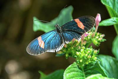 Small Black Postman Butterfly Art Print