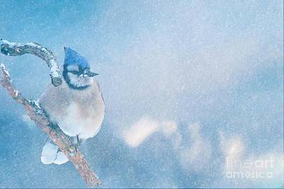 Photograph - Small Blue Jay In Snowstorm by Janette Boyd