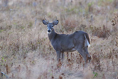 Photograph - Small Buck by Brook Burling
