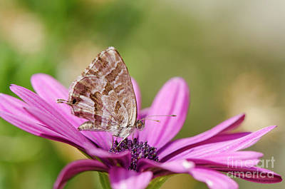 Photograph - Small Butterfly On Daisy by Perry Van Munster