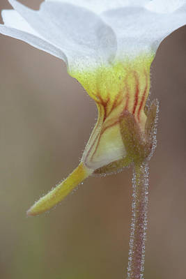 Photograph - Small Butterwort by Paul Rebmann