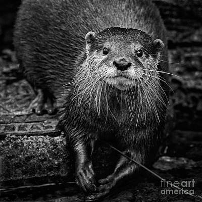 Photograph - Small Clawed Otter Portrait by Sonya Lang