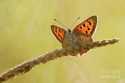 Photograph - Small Copper by Andy Brown
