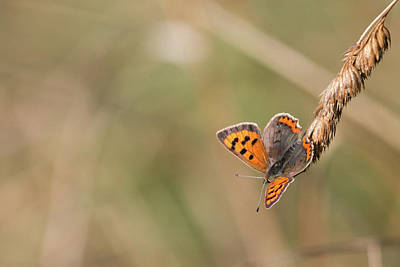 Comic Character Paintings - Small Copper Butterfly by Wendy Cooper