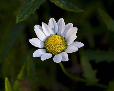 Small Daisy Print by Svetlana Sewell