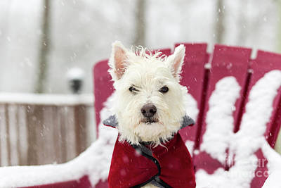 West Highland White Terrier Photograph - Small Dog In Snow Storm by Edward Fielding