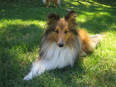 Miniature Collie Photograph - Small Dog In The Garden by Sheltie Planet