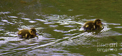 Photograph - Small Ducklings by Donna L Munro