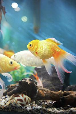 Small Gold Fish  Art Print by Dzmitry Kliapitsky