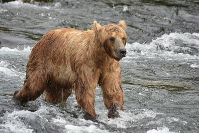 Photograph - Small Grizzly Bear In A Fast Moving River by Patricia Twardzik