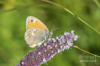 Photograph - Small Heath - Coenonympha Pamphilus by Jivko Nakev