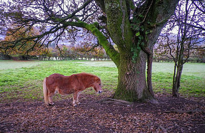 Photograph - Small Horse Big Tree by Richard Brookes