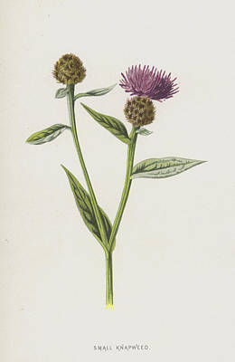 Weed Drawing - Small Knapweed  by Frederick Edward Hulme