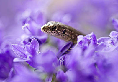 Photograph - Small Lizard by Jaroslaw Blaminsky