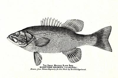 Small Mouth Black Bass Victorian 1880s Print Art Print by Peter Gumaer Ogden Collection