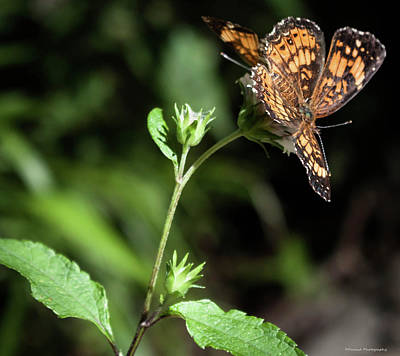 Photograph - Small Orange Butterfly 3 by Debra Forand