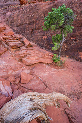 Photograph - Small Pine At Bell Rock by Alexander Kunz
