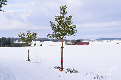 Barns In Snow Photograph - Small Pine Trees by Esko Lindell