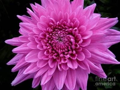 Photograph - Small Pink Chrysanthemum  by Joan-Violet Stretch