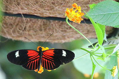 Photograph - Small Postman Butterfly by Laurel Talabere