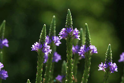 Photograph - Small Purple Flowers by David Stasiak