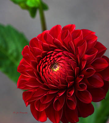 Photograph - Small Red Dahlia by Jeanette C Landstrom