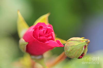 Photograph - Small Red Rose by Donna L Munro