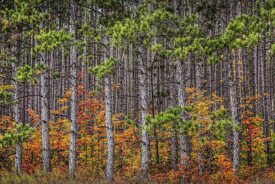Photograph - Small Saplings Among A Grove Of Pine Trees In Autumn by Randall Nyhof