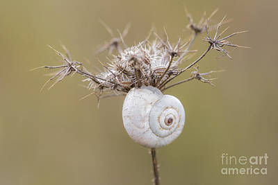 Photograph - Small Snail Shell Hanging From Plant by Gurgen Bakhshetsyan