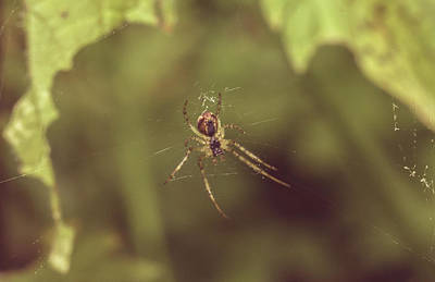 Photograph - Small Spider In Forest by Jacek Wojnarowski