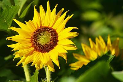 Photograph - Small Sunflower Basking by Polly Castor