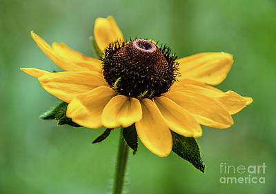 Photograph - Small Sunflower by Lisa L Silva