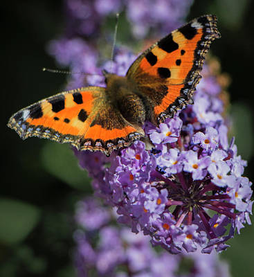 Photograph - Small Tortoiseshell Butterfly, England by Venetia Featherstone-Witty
