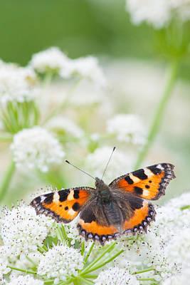 Photograph - Small Tortoiseshell Butterfly by Paul Sharman