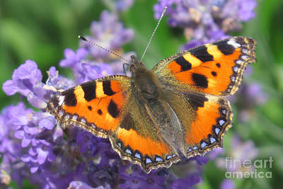 Photograph - Small Tortoiseshell by Frank Townsley
