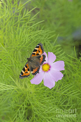 Floret Photograph - Small Tortoiseshell  by Tim Gainey
