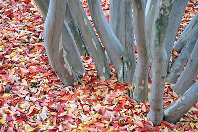 Photograph - Small Tree Trunks With Small Autumn Leaves by Cora Wandel