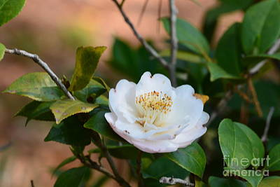 Photograph - Small White Camelia by Maria Urso
