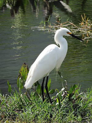 Photograph - Snow Egret by William Albanese Sr