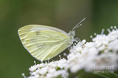 Photograph - Small White - Pieris Rapae by Jivko Nakev