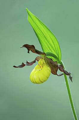 Photograph - Small Yellow Lady Slipper  by Jim Zablotny