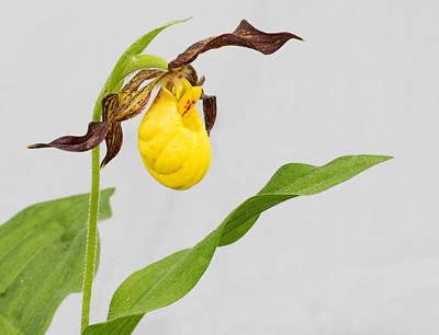 Photograph - Small Yellow Lady's Slipper by Jim Zablotny