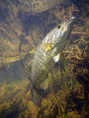 Smallmouth Against Weeds Art Print by Ron Kruger