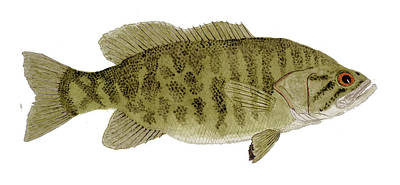 Painting - Smallmouth Bass by Thom Glace
