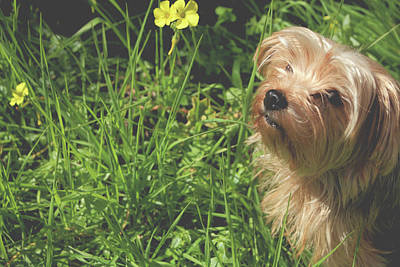 Yorkshire Terrier Wall Art - Photograph - Smell The Flowers by Laurie Search